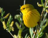 Warbler Yellow D-008.jpg