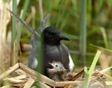 Tern BlackD-139.jpg