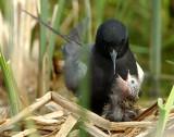 Tern BlackD-136.jpg