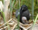 Tern BlackD-135.jpg