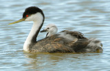 Grebe, Western  w/ chicks
