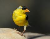 Goldfinch American D-041.jpg