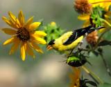 Goldfinch American D-044A.jpg