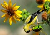 Goldfinch American D-047.jpg