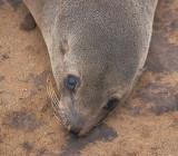 Cape Fur Seal female looking
