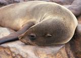 Cape Fur Seal female sleeping