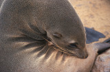 Cape Fur Seal female scratching