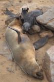 Cape Fur Seal suckling 1