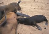 Cape Fur Seal suckling 2