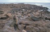 Cape Fur Seal colony 2