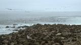 Cape Fur Seal colony 3