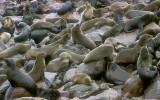 Cape Fur Seal colony Namibia