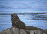 South American Fur Seal male adult
