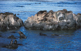 South American Fur Seal colony 1