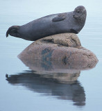 Harbour (Common) Seal