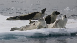 Harp Seal group on ice  incl 2 adults OZ9W9937