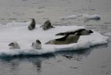 Harp Seal group on ice OZ9W9967