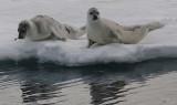 Harp Seals on ice immatures OZ9W9984