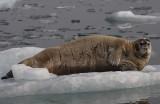 Bearded Seal OZ9W8534