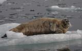 Bearded Seal OZ9W8535