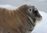 Bearded Seal OZ9W8539
