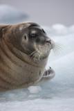 Bearded Seal OZ9W8548