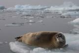 Bearded Seal OZ9W8553