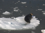 Bearded Seal OZ9W8567
