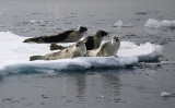 Harp Seal group on ice incl 2 adults OZ9W9935
