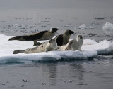 Harp Seal group on ice incl 2 adults OZ9W9936