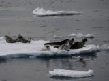 Harp Seal group on ice OZ9W9961
