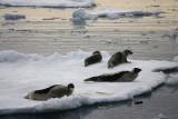 Harp Seal group on ice OZ9W9975