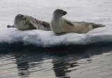 Harp Seals on ice immatures OZ9W9981