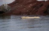 Polar Bear swimming 1