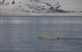 Polar Bear swimming OZ9W1406