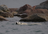 Polar Bear immature swimming with tern OZ9W5719