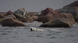 Polar Bear immature swimming with Arctic Terns