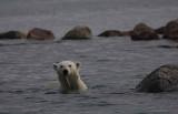 Polar Bear immature in water OZ9W5721