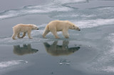 Polar Bear female with large cub on ice