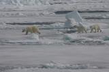 Polar Bear female with 2 large cubs OZ9W8478