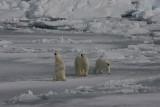 Polar Bear female with 2 large cubs OZ9W8658