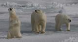 Polar Bear female with 2 large cubs 2