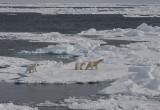 Polar Bear female with 2 large cubs OZ9W8684