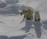 Polar Bear female with 2 large cubs on ice