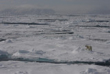 Polar Bear female on ice OZ9W8845