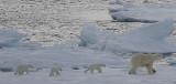 Polar Bear female with 3 first-year cubs 2