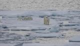 Polar Bear female with 3 first-year cubs OZ9W9096