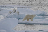 Polar Bear female with 3 first-year cubs OZ9W9100