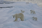 Polar Bear female with 3 first-year cubs OZ9W9114