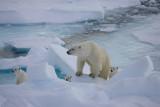 Polar Bear female with 3 first-year cubs OZ9W9127